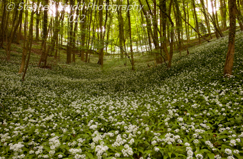 Allium ursinum Wild Garlic Ramsons in woodland, Sroud, Gloucestershire dawn