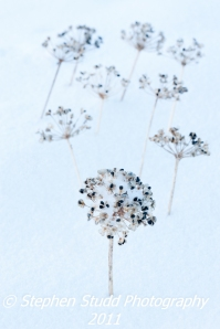 Garlic chive seedheads in winter landscape with snow, differential focus