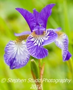 Iris Siberica, Painswick Rococo Gardens