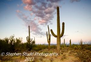 USA, Arizona, Tucson, Saguaro National Park, Saguaro cacti (Cereus giganteus)