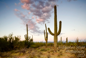 USA, Arizona, Tucson, Saguaro National Park, Saguaro cacti