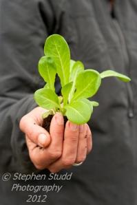 Woman holding organic Little Gem lettuce seedling ready for transplanting