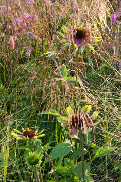 "Echinacea ""Green Envy"" dusk"