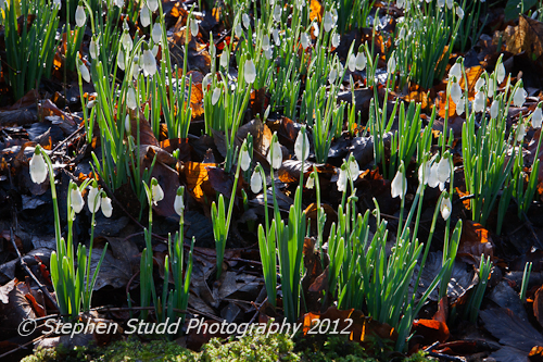 Galanthus - Snowdrops; Painswick Rococco Gardens, Gloucestershire