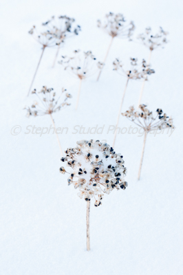 Garlic chive seedheads in winter landscape