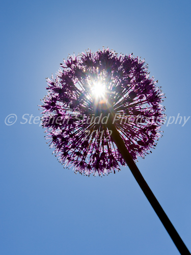 Allium; Purple Sensation against the sun