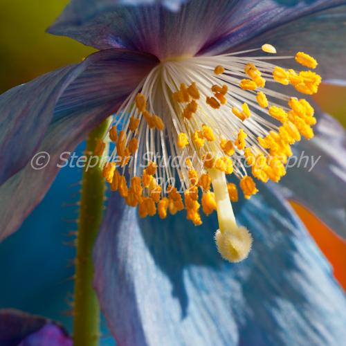 Meconopsis Sheldonii  - Himalayan Blue Poppy