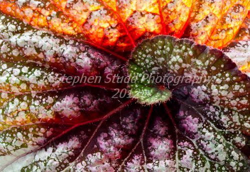 Begonia Rex L`Escargot IGPOTY Fractal Begonia commended by Stephen Studd photography