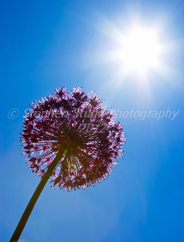 Allium Purple Sensation against the sun
