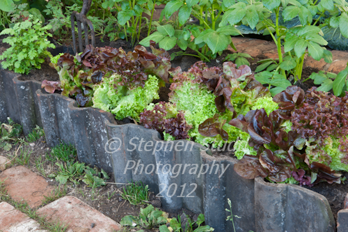 lettuce and border