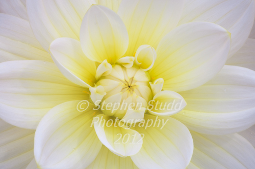 Dahlia Harriet G flower close up