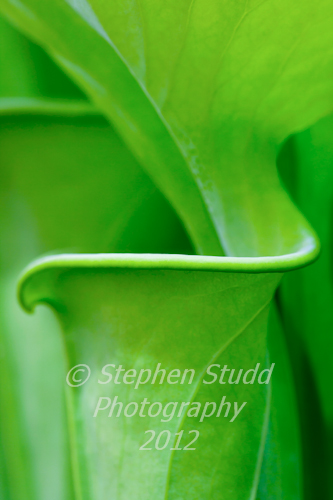 Sarracenia flava all green form, pitcher plant