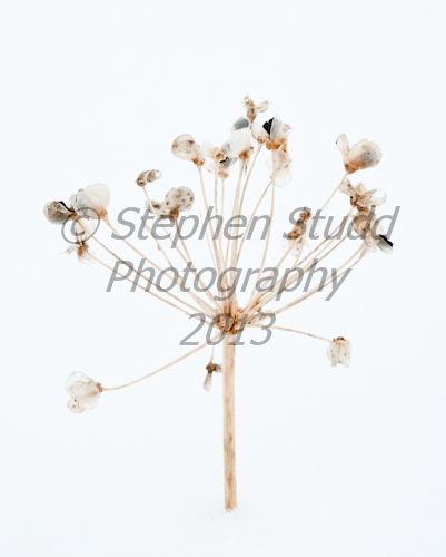 Garlic chive seedhead in snow, winter