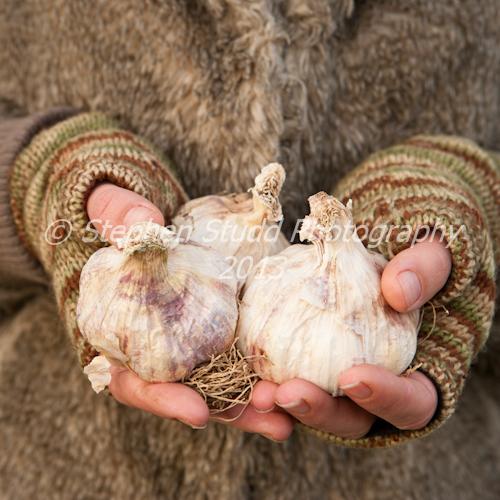 woman holding organic garlic bulbs Thermidrome ready for planting late autumn Allium sativum