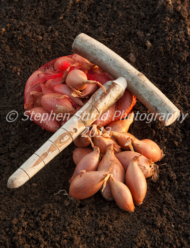 Longor shallots ready for planting late winter, hazel dibber and bag full of shallots