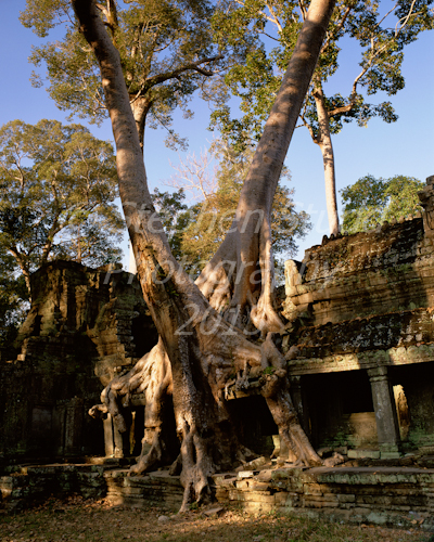 Tree Angkor Wat temple complex