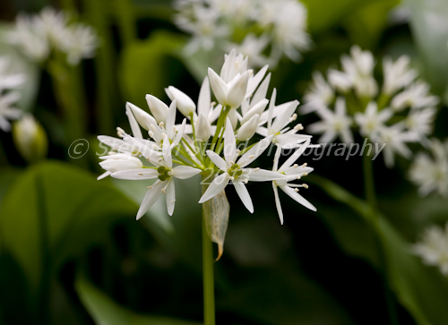 Wild Garlic (Ramsons) in wood Stroud Gloucestershire