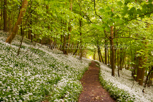 Wild garlic (Ramsons) Stroud, Gloucestershire; commended Wildflower Landscapes category