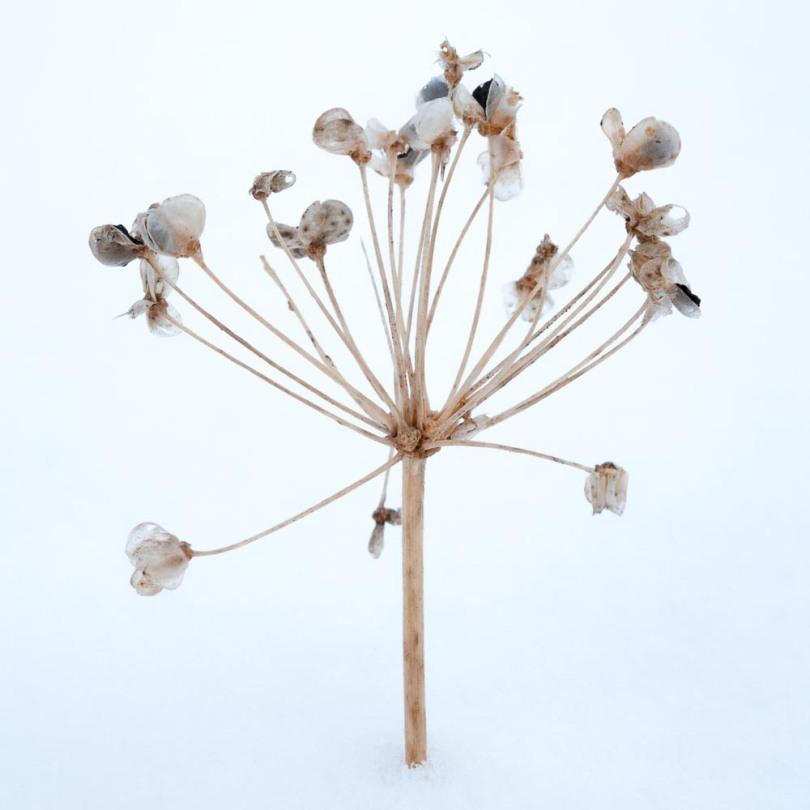 Garlic chive seedhead winter