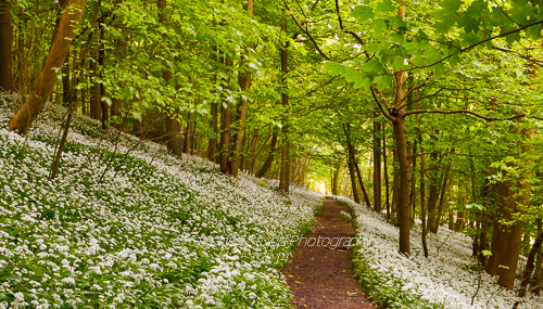 Wild Garlic (Ramsons) in wood Stroud Gloucestershire Digital photography holidays courses tours workshops