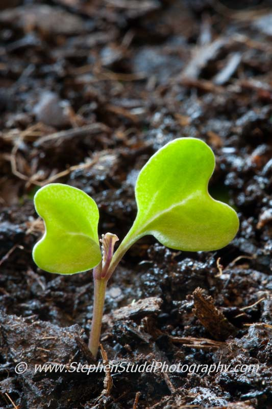 Organic kale seedling Nero de Toscana emerging in May planted in greenhouse
