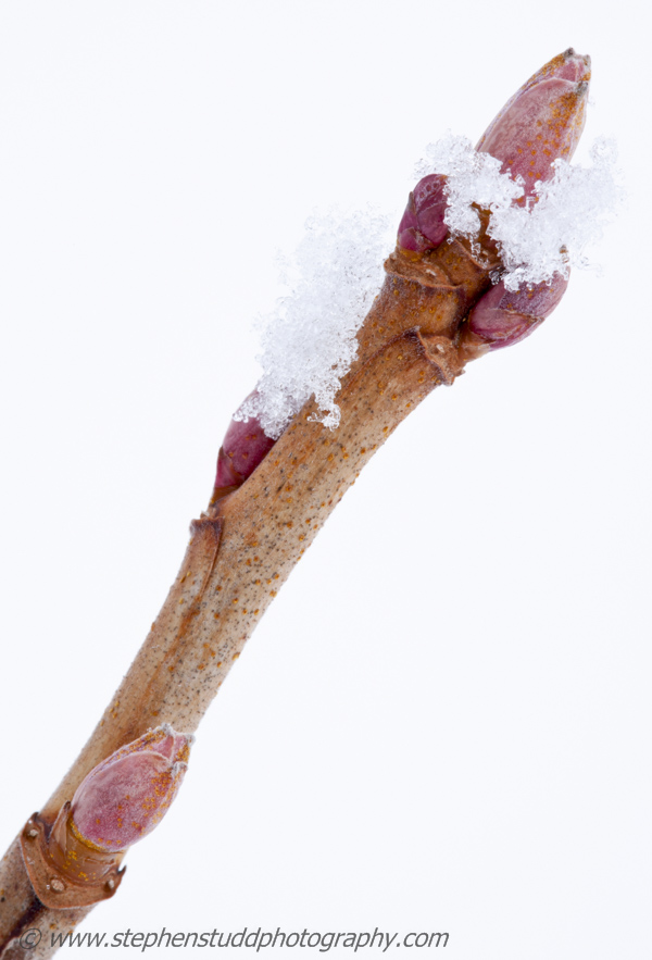 "Blackcurrant ""Ben Nevis"" branch with buds covered in snow and ice crystals, winter"