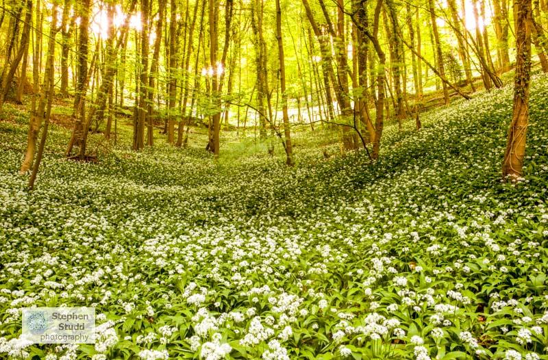 flower photography workshop Allium ursinum Wild Garlic Ramsons in woodland Sroud Gloucestershire dawn woods forest wildflowers trees medicinal herb edible
