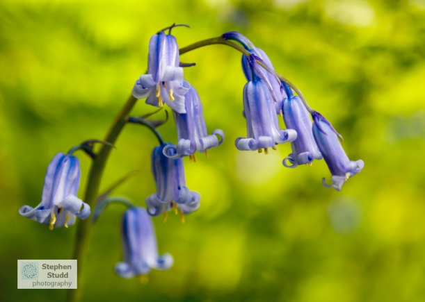 Bluebells, (Hyacinthoides non-scripta) flower photography workshops Gloucestershire