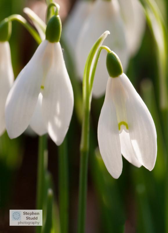 Galanthus Nivalis - Snowdrops;