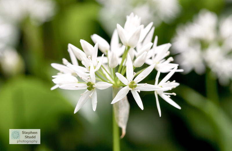 flower photography workshop Allium ursinum Wild Garlic Ramsons in woodland Sroud Gloucestershire dawn woods forest wildflowers trees medicinal herb edible