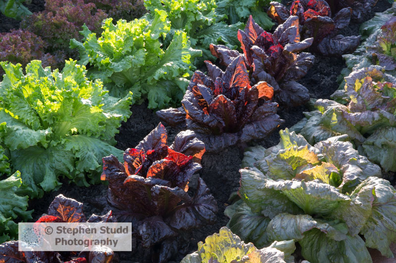 Photographer: Stephen Studd  -  The BBC Radio 2 Chris Evans Taste Garden garden, Lettuce from right to left, 'Red Iceberg', 'Nymans', 'Lettony', Designer: Jon Wheatley
