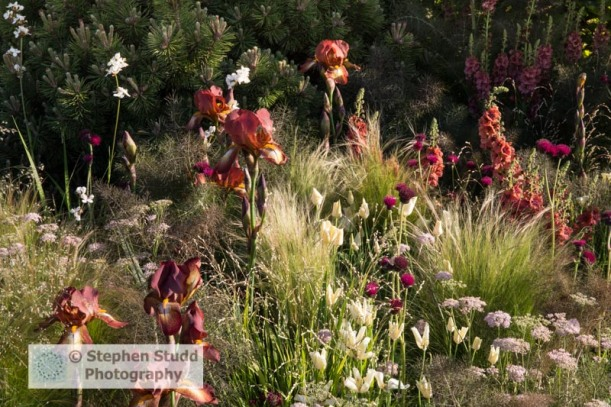 Photographer: Stephen Studd  -  The BBC Radio 2 Jeremy Vine Texture Garden, Verbascum 'Firedance', Iris germanica 'Kent Pride', Stipa tenuissima, Cirsium rivulare 'Atropurpureum', Calamagrostis x acutiflora 'Karl Foerster', Calamagrostis brachytricha, M