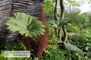 Photographer: Stephen Studd - The M & G Garden, Gunnera killipia