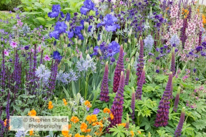 Stephen Studd - Morgan Stanley Healthy Cities garden – mixed herbaceous border, Lupinus 'Masterpiece', Geum 'Princess Juliana', Iris 'Mer du Sud', Salvia nemerosa 'Caradonna', Verbascum 'Merlin', Camassia - Designer Chris Beardshaw - Sponsor – Morgan Stanley - awarded gold medal