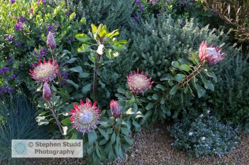 Stephen Studd - The Time in Between garden – Protea cyranoides 'Little Prince' - Designer Charlie Albone - Sponsor – Husqvarna - Gardena - awarded Silver gilt