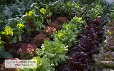 Photographer:Stephen Studd - The BBC Radio 2 Chris Evans Taste Garden garden, Lettuce from right to left, 'Red Iceberg', 'Nymans', 'Lettony', 'Lollo Rossa', Swiss Chard 'Bright Lights', with leek 'Cumbria', Pak choi and Chinese cabbage, Designer: Jon Wheatley