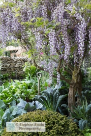 Photographer: Stephen Studd - Welcome to Yorkshire garden, Wisteria, vegetable garden with Brassica oleracea Nero di Toscana, Red cabbage, beetroot, Rainbow Chard, dry stone wall - Designer: Mark Gregory - Sponsor: Welcome to Yorkshire