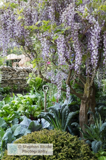Photographer:Stephen Studd - Welcome to Yorkshire garden, Wisteria, vegetable garden with Brassica oleracea Nero di Toscana, Red cabbage, beetroot, Rainbow Chard, dry stone wall - Designer: Mark Gregory - Sponsor: Welcome to Yorkshire