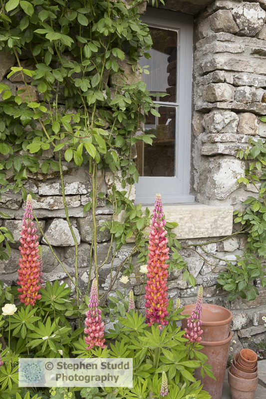 Photographer:Stephen Studd - Welcome to Yorkshire garden, view of stone bothy with old terracotta plant pots and Lupinus 'Terracotta' - Designer: Mark Gregory - Sponsor: Welcome to Yorkshire