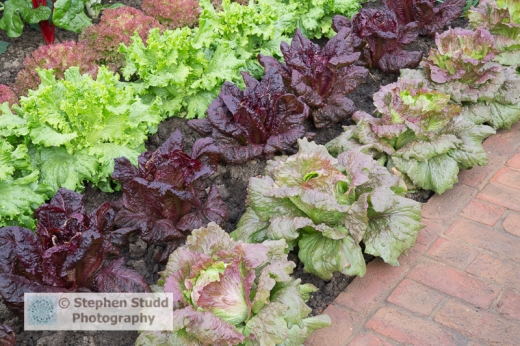 Photographer: Stephen Studd - The BBC Radio 2 Chris Evans Taste Garden, red brick path, vegetable garden with lettuces from right to left: 'Red Iceberg', 'Nymans', 'Lettony', Lollo Rossa', 'Designer: Jon Wheatley